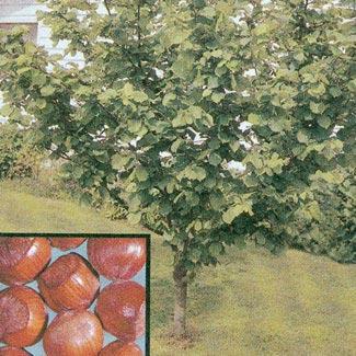 American Filbert Hazel Nut G Madewell Nursery Warren County